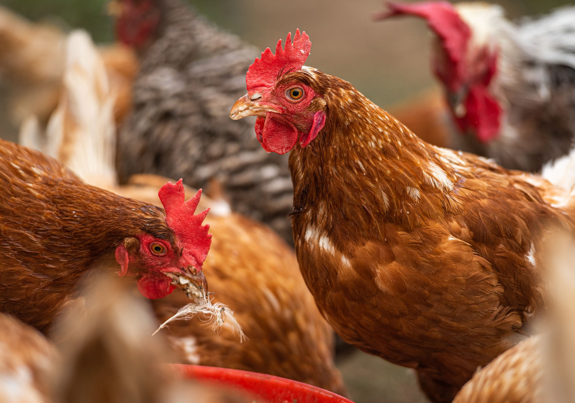 Fats and oils in poultry nutririon